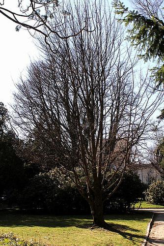 Acer campestre - érable champêtre 1neir107