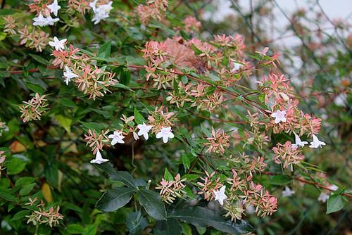Abelia x grandiflora 1neir109