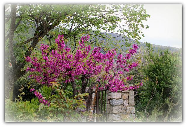 Cercis siliquastrum - arbre de Judée  1neir113