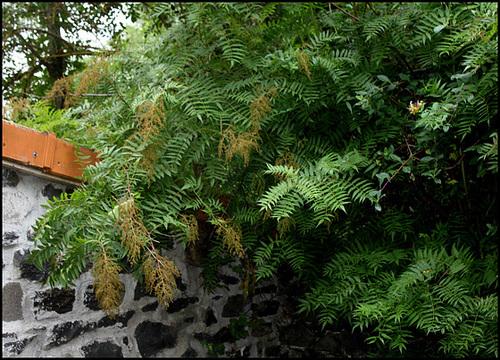 Sorbaria sorbifolia - sorbaria à feuilles de sorbier 1neir115
