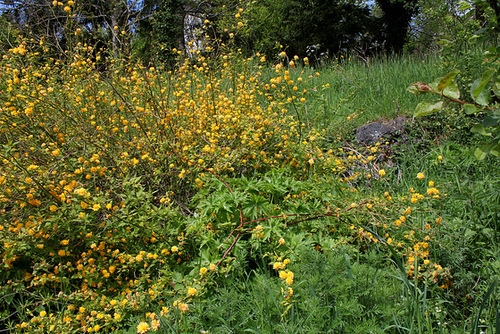 Kerria japonica - corète du Japon 1neir118