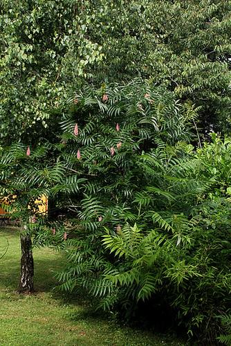 rhus - Rhus typhina - sumac de Virginie, vinaigrier  1neir120