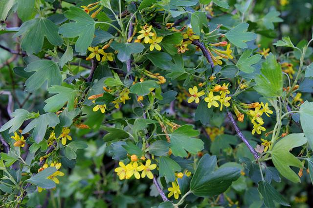 Ribes aureum (= R. odoratum) - groseiller doré  1neir122