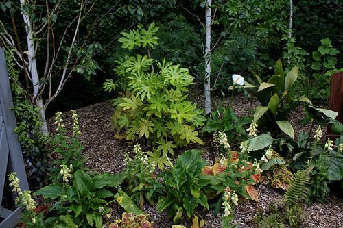 Fatsia japonica - fatsia du japon 1neir124