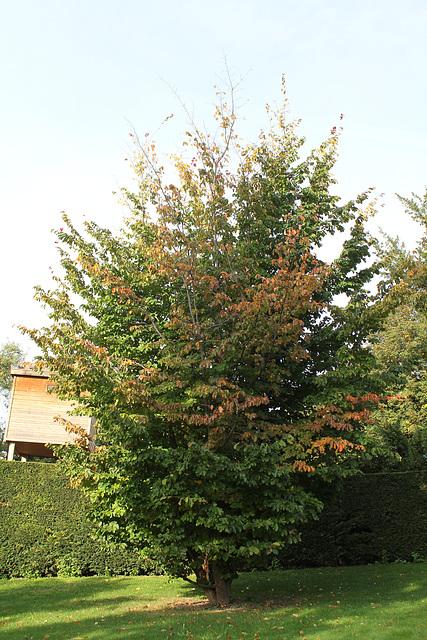 Parrotia persica - arbre de fer 1neir126