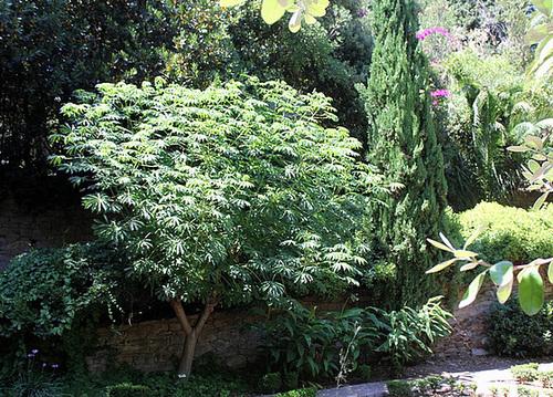 Manihot esculenta et carthaginensis (= grahamii) 1neir128