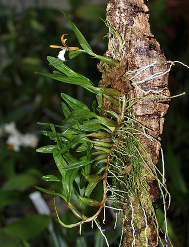 Dinema polybulbon (= Encyclia polybulbon = Epidendrum polybulbon) 1neir134