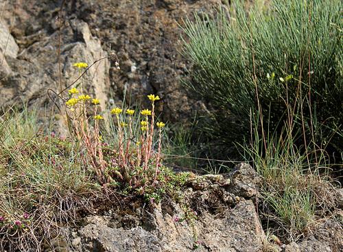 Petrosedum rupestre et  reflexum = Sedum rupestre - orpins 1neir143