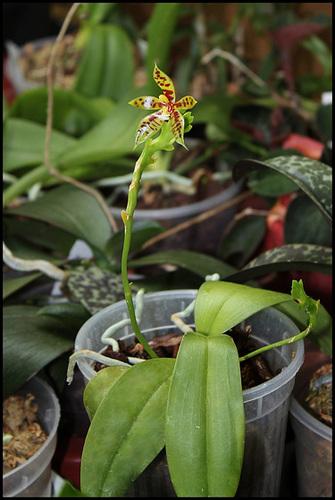 Phalaenopsis lamelligera (= Phalaenopsis cornu-cervi f. lamelligera) 1neir144