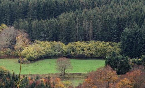 Picea abies (= Picea excelsa) - épicéa commun 1neir145