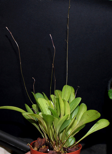 Platystele misera (= Pleurothallis misera) 1neir146