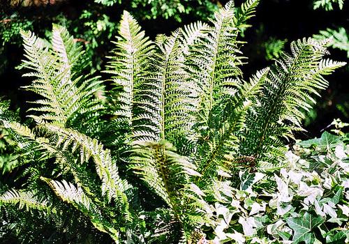 Polystichum aculeatum (= Aspidium aculeatum) 1neir147