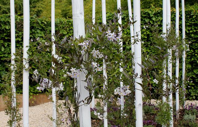 Solanum jasminoides - faux-jasmin 1neir150