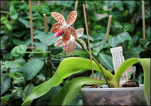 Phalaenopsis sumatrana (South Thailand) 1neir151