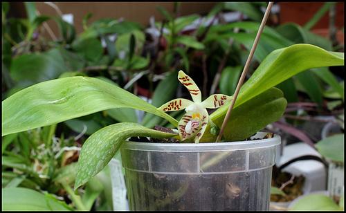 Phalaenopsis sumatrana (= P. zebrina) 1neir152