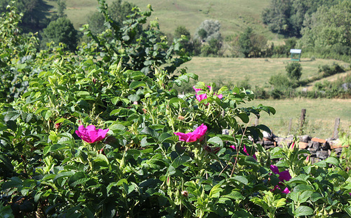 Rosa rugosa - rosier rugueux  1neir154