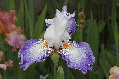 Anomalies chez les iris barbus - pélorisme et chimères 1neir162