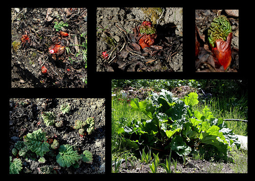 Rheum - rhubarbes ornementales  1neir22