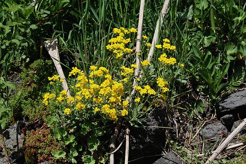 Aurinia saxatilis (= Alyssum saxatile) - aurinie des rochers, alysse corbeille d'or  1neir31