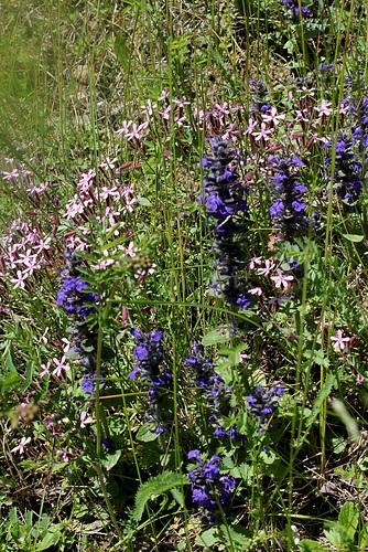 Ajuga reptans - formes horticoles de bugle rampante 1neir33