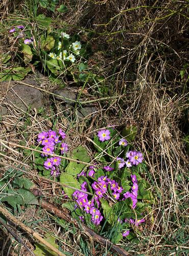 Primula vulgaris - primevère commune, primevère acaule 1neir35