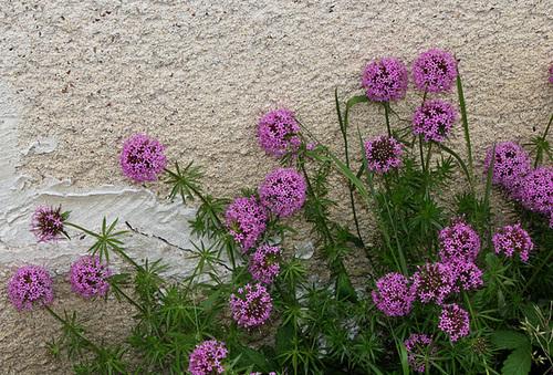 Phuopsis stylosa 'Purpurea' - crucianelle pourpre 1neir38