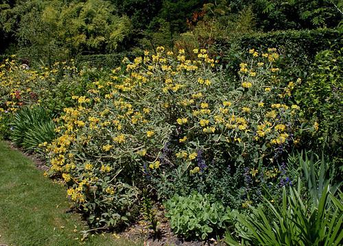 Phlomis fruticosa - sauge de Jérusalem, phlomis arbustif 1neir40