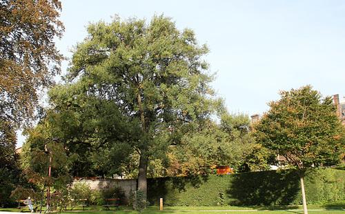 Quercus libani - chêne du Liban 1neir43