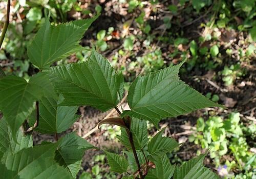 Acer capillipes  1neir50