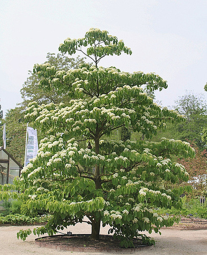 Cornus macrophylla - cornouiller à grandes feuilles  1neir52