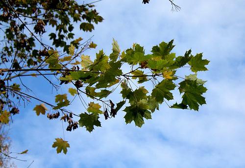 Acer platanoides - érable plane  1neir53