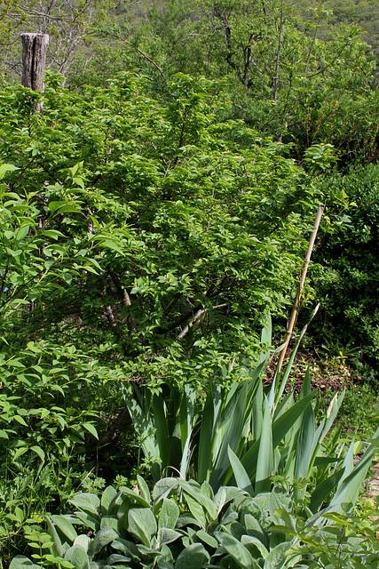 Ulmus parvifolia (= chinensis) - orme de Chine 1neir55