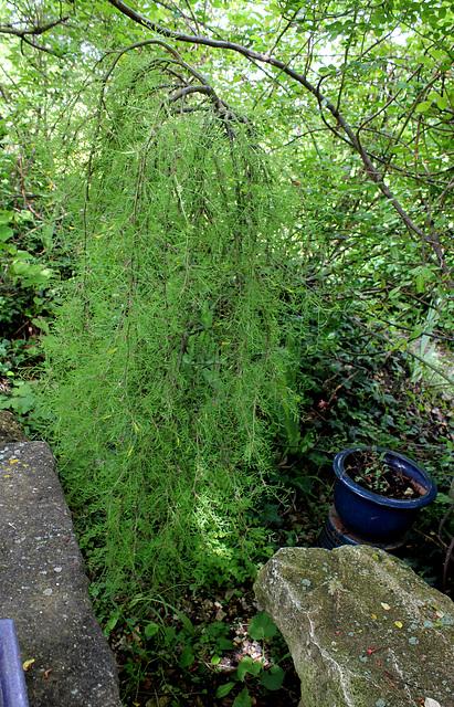 Caragana arborescens 'Pendula' - caraganier de Sibérie   1neir56