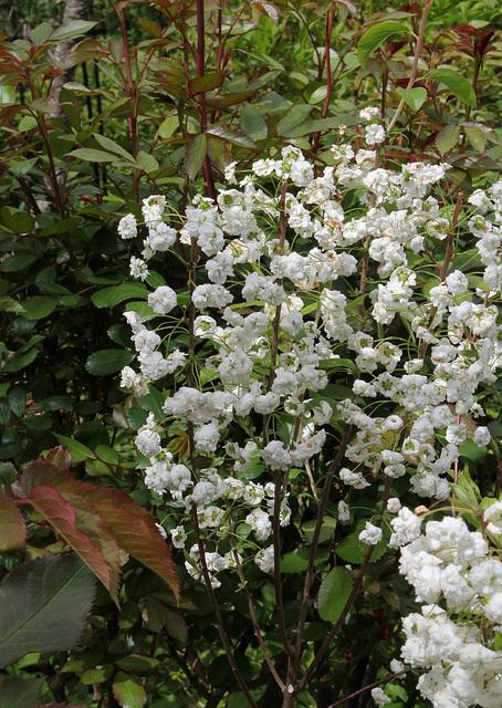 Spiraea prunifolia  1neir59