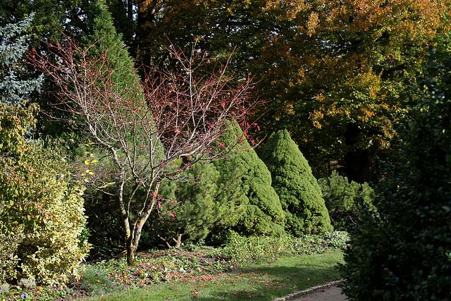 Acer japonicum 'Aconitifolium' 1neir61