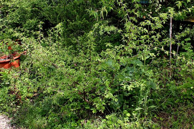 Corylus heterophylla - noisetier à feuilles différentes  1neir62