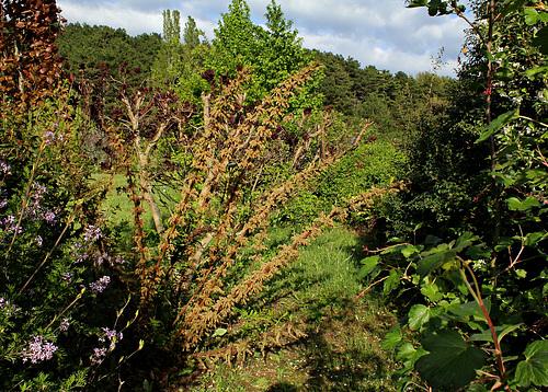 Coriaria - corroyère - genre et espèces 1neir68