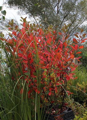 Aronia arbutifolia 'Brilliant' 1neir69