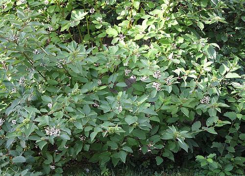 Cornus alba - cornouiller blanc 1neir70