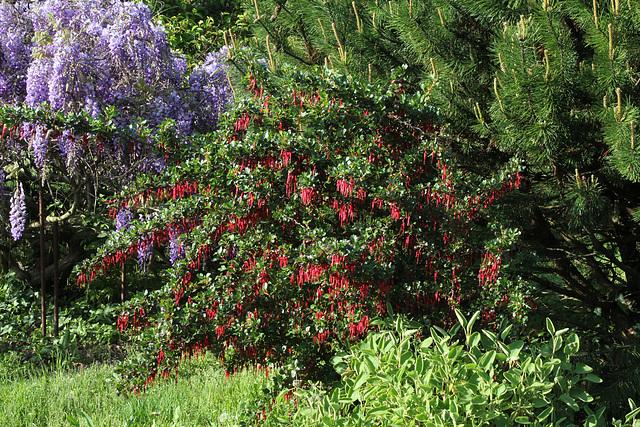 Ribes speciosum 1neir71