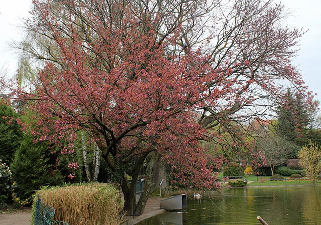 Prunus serrulata - cerisiers à fleurs du Japon 1neir72