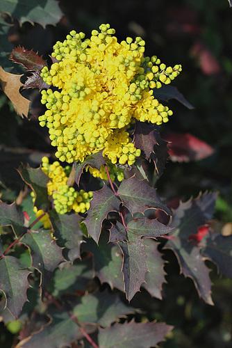 Mahonia x wagnerii (aquifolium x pinnata) 1neir75