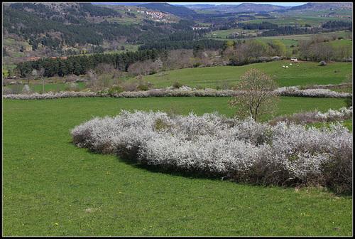 Prunus spinosa - prunellier, épine noire 1neir78