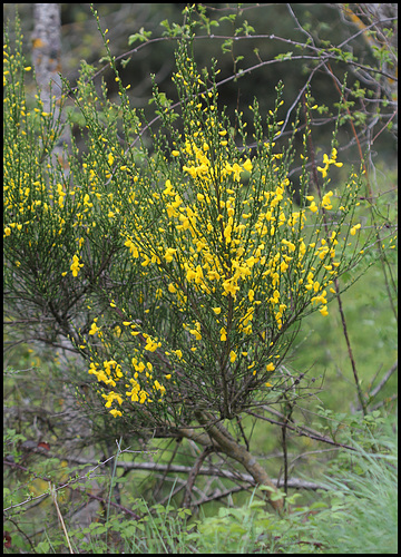 Cytisus scoparius (= Sarothamnus scoparius) - genêt à balai 1neir79