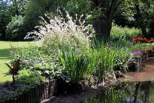 Salix integra 'Hakuro-Nishiki' - saule crevette 1neir81