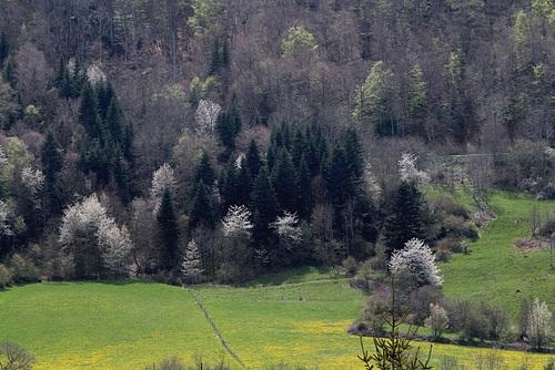 Prunus avium - merisier, cerisier sauvage 1neir82