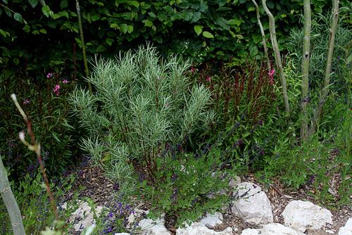 Salix rosmarinifolia - saule à feuilles de romarin 1neir83