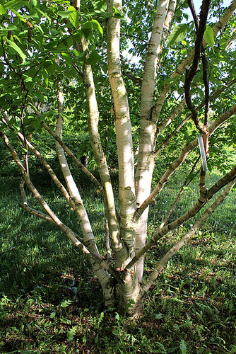 Betula albosinensis 'Hergest'  1neir84