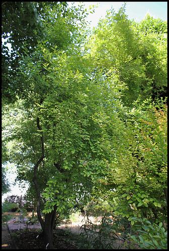 Elaeagnus multiflora - chalef multiflore, goumi du Japon 1neir89