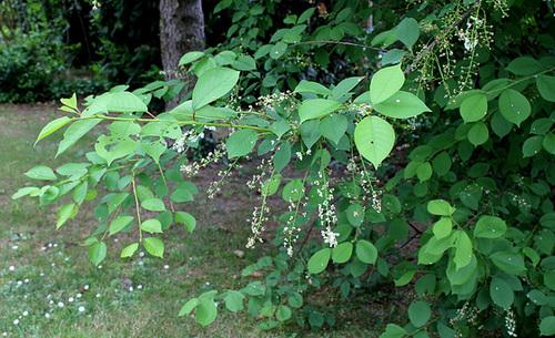 Prunus padus - cerisier à grappes - espèce et cultivars  1neir90